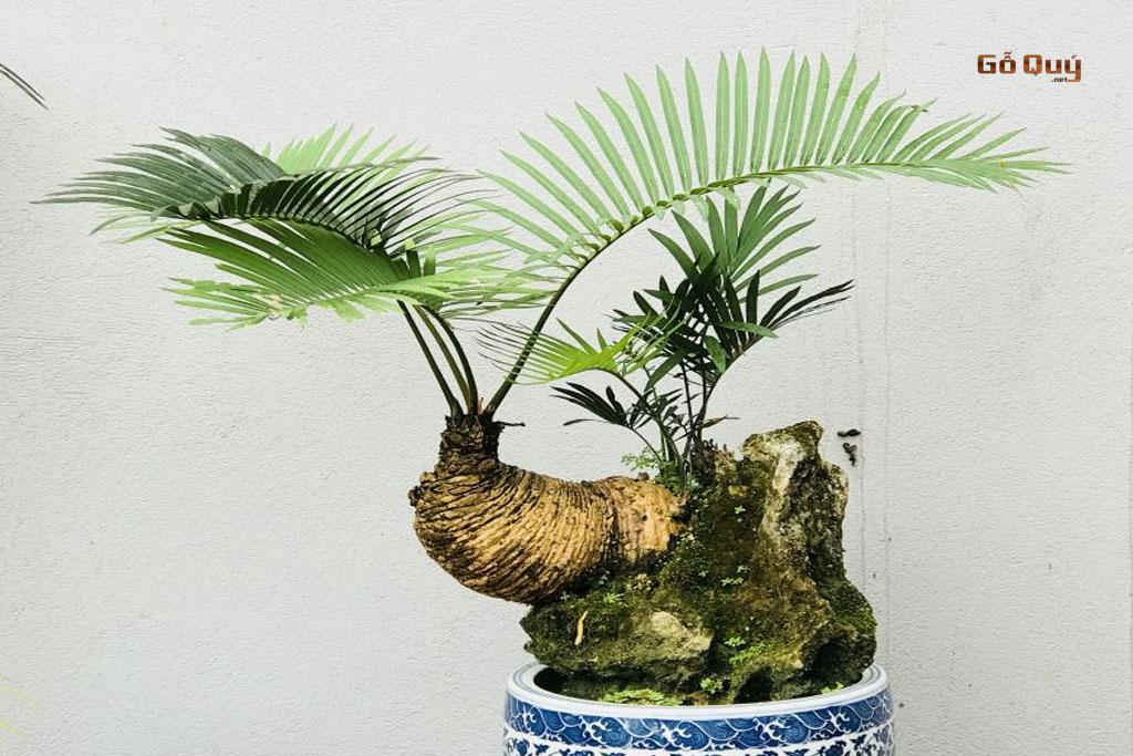 Cây Thiên Tuế